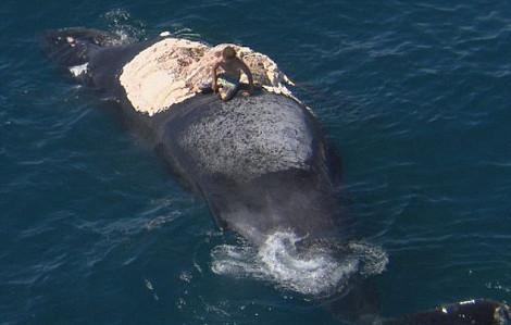 Αυστραλία: Σέρφερ πήδηξε στο κουφάρι φάλαινας την ώρα που το έτρωγαν καρχαρίες <div class=