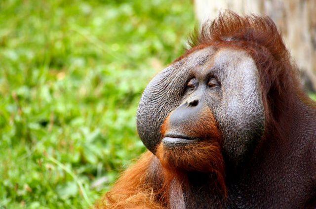 monkey-orangutan-animal-face-52530