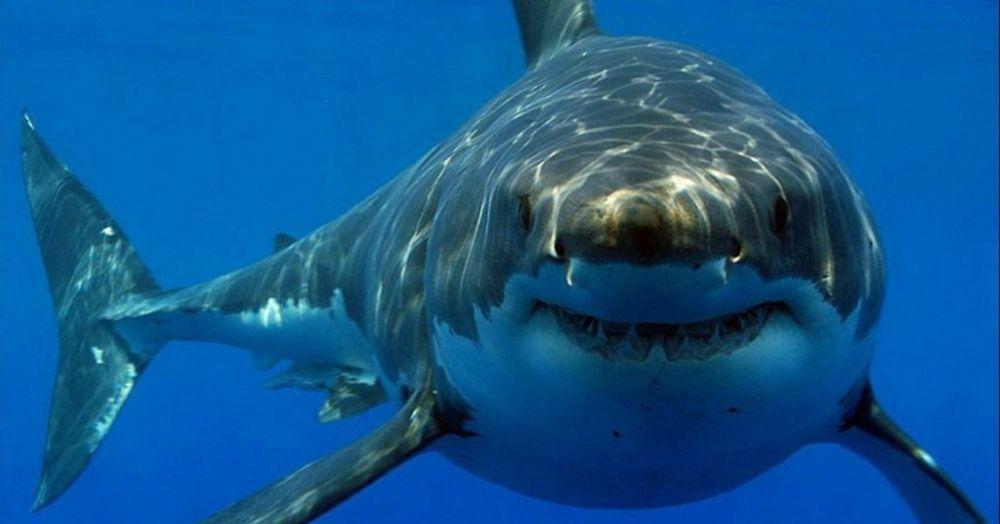 Γιατί ο λευκός καρχαρίας δεν υπάρχει σε KANENA ενυδρείο στον κόσμο; - neolaia.gr
